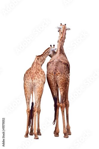 Photo  Giraffe / Giraffe stand on white background.