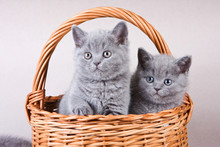 Several Gray Kitten British Ca...