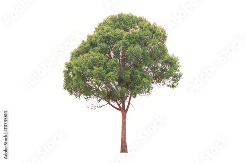 Fotografija  Big and high tree isolated on white