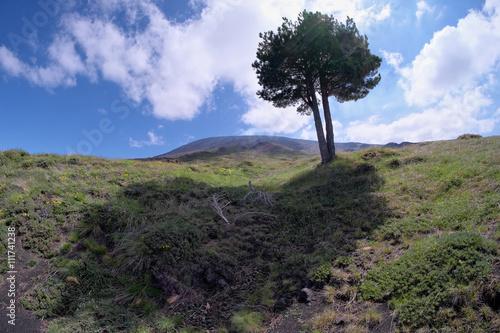 Fényképezés  Pine In Etna Park, Sicily