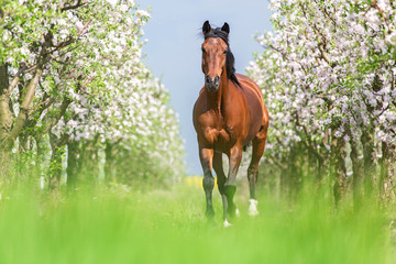 Bay horse running gallop in a spring garden