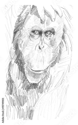 Printed kitchen splashbacks Hand drawn Sketch of animals Retrato de un orangután