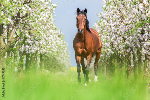 Bay bai courir galop dans un jardin de printemps Poster Mural XXL