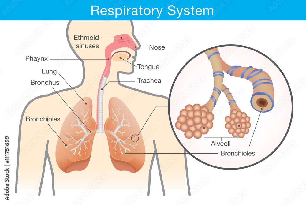 Fototapeta Respiratory system of human. This illustration about anatomy and physiology.