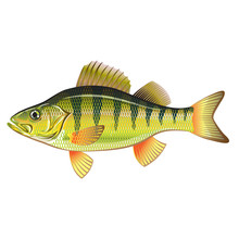 Freshwater Yellow Perch Vector...