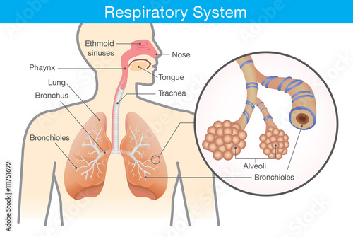 Obraz Respiratory system of human. This illustration about anatomy and physiology. - fototapety do salonu