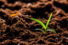 Growing Young Green Corn Seedl...