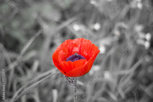 czerwony-kwiat-na-szarej-lace