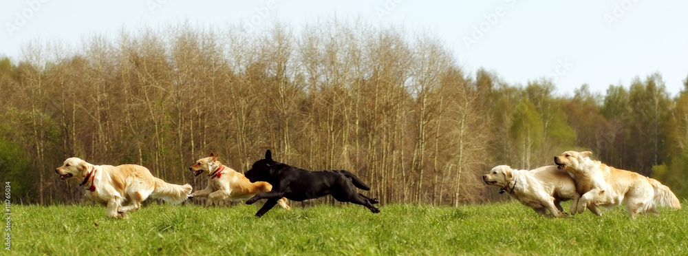 Fototapety, obrazy: large group of dogs retrievers running