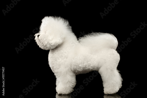 Canvas Print Purebred white Bichon Frise Dog Standing and Looking up isolated Black Backgroun