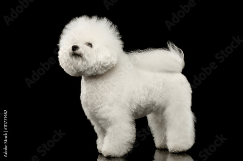 Fotografie, Obraz  Purebred white Bichon Frise Dog Standing and Looking up isolated Black Backgroun