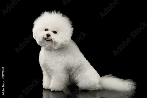 Tablou Canvas Purebred White Bichon Frise Dog Smiling, Sitting and Looking in Camera isolated