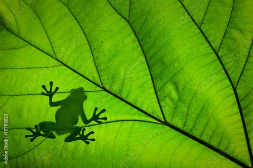 Foto op Plexiglas Kikker Silhouette d'une grenouille à travers une feuille verte