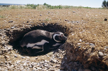 Penguin In An Open Ground