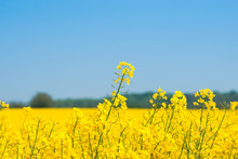 Rapeseed Field With Yellow Plants