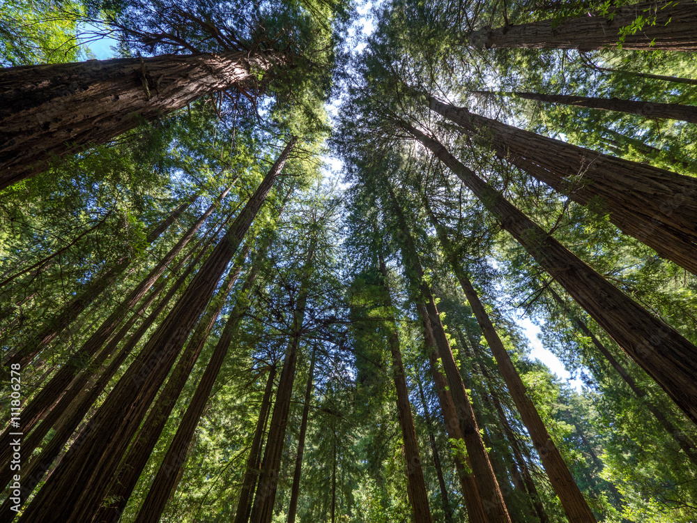 Tall trees in Muir Woods forest