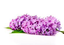Branch Of Lilac Flowers On A W...