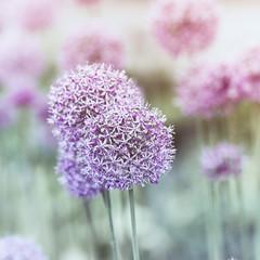 Fototapeta Garlic Flowers