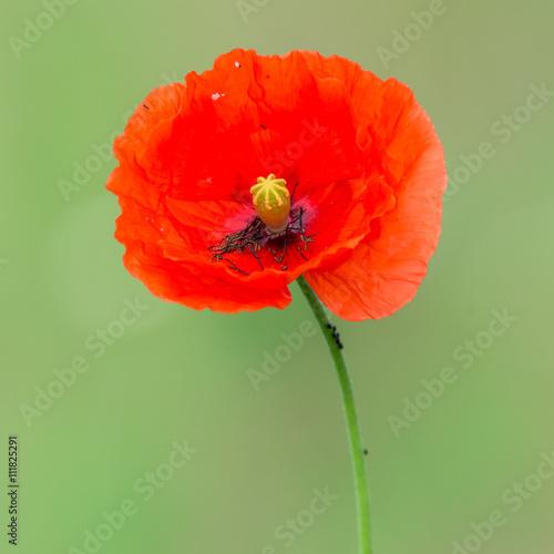 In de dag Poppy Mohn Klatschmohn (Papaver rhoeas) blühend an einem Feldrand