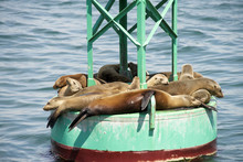 Sea Lion Pups And Yearlings Re...
