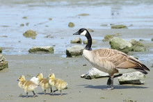 Mother Goose With Goslings Wal...
