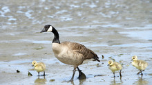 Mother Goose With Goslings Walking On The Beach