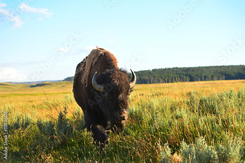 Photo sur Aluminium Bison Bison in valley