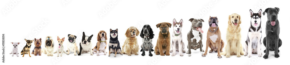 Fototapeta Eighteen sitting dogs in row, from small to large, isolated on white