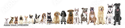 Fototapeta Eighteen sitting dogs in row, from small to large, isolated on white obraz