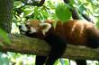 schlafender roter Panda auf einem Baumstamm