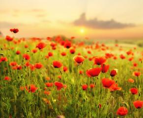 Obraz na SzkleMaki polne-kwiaty,kolor selektywny