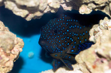 Bluespotted Coral Grouper (Cep...