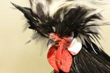 Bristled Rooster Portrait