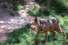 Adult Male Iberian Wolf