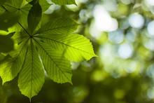 Fresh Green Chestnut Tree Leaf Blurred Background