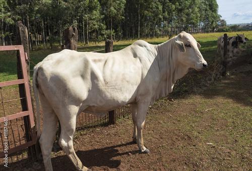 Fotografija  Cattle on farmland, brazil