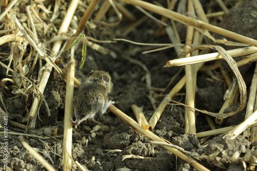 Fotografía  Field mouse
