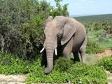 Dziki słoń na safari