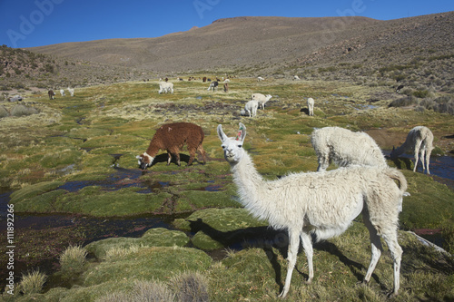 Poster Lama Group of llama (Lama glama) and alpaca (Lama pacos) grazing on a wetland in Lauca National Park, northern Chile.