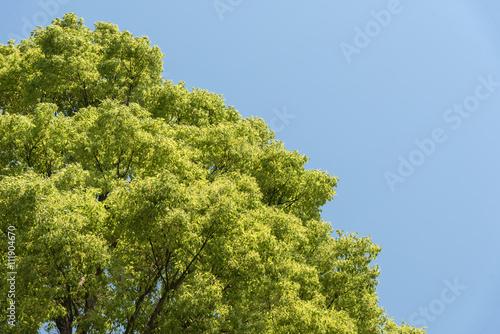 Large Cinnamomum Camphora Tapéta, Fotótapéta