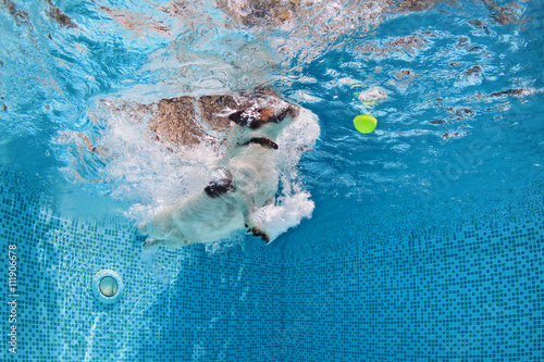 Photo  Playful jack russell terrier puppy in swimming pool has fun - dog jump and dive underwater to retrieve ball