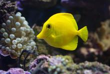 Yellow Tang Fish In A Reef Aqu...