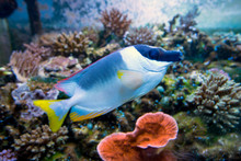 Powder Blue Tang Fish In Aquar...