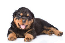 Small Rottweiler Puppy Lying. ...
