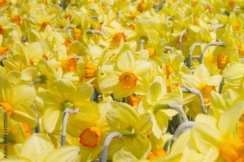 Fiori Narcisi.Naciso E Narcisi In Fiore Flower Narcissus Buy This Stock Photo