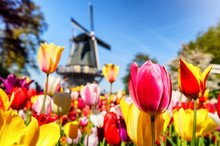 Spring Landscape With Multicolor Tulips