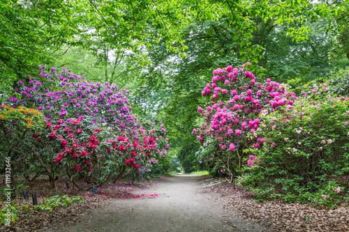 Plakat Kwitnący rododendrony w jawnym parku