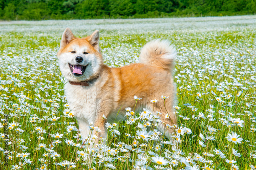 Akita - young dog standing on the green field. Canvas Print