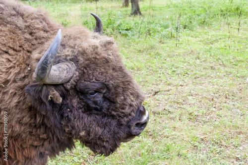 Valokuva  Bialowieski National Park - Poland. Aurochs head.