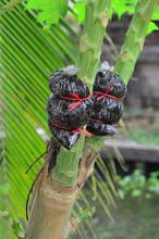 Graft The Branch Of Papaya